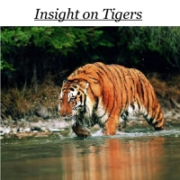 Insight on Tigers