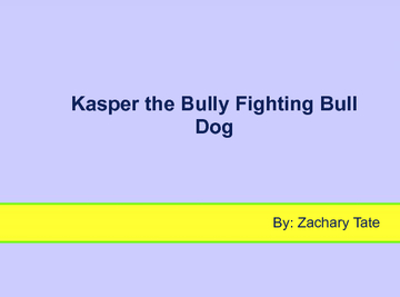 Kasper the Bully Fighting Bull Dog