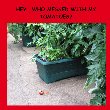 HEY!  WHO MESSED WITH MY TOMATOES?!?