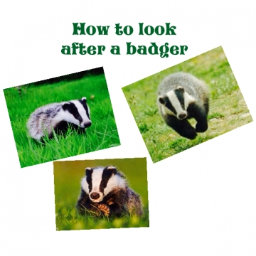 How to look after a badger