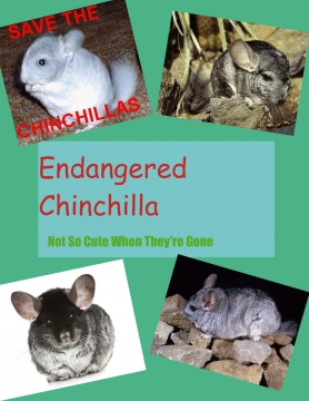 Endangered Chinchilla