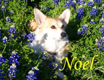 The Story Of Noel, Our Pembroke Welsh Corgi