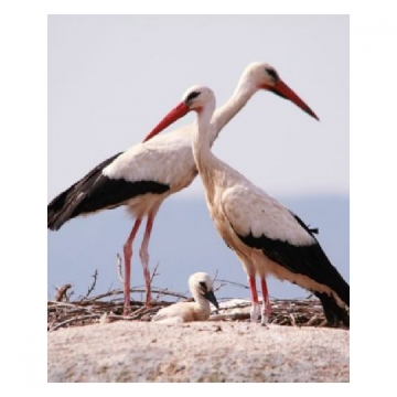 THE STORKS OF PICO RIDGE