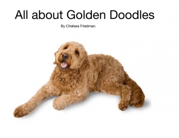 All about Golden Doodles