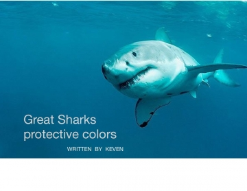 Great white Sharks protective coloration