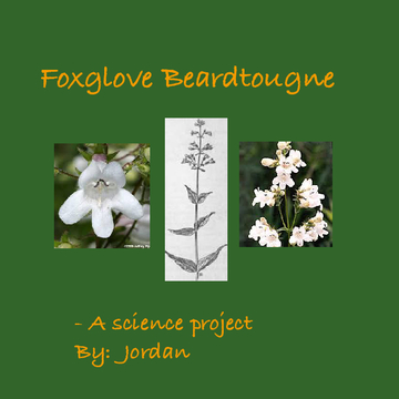 The Foxglove Beardtongue