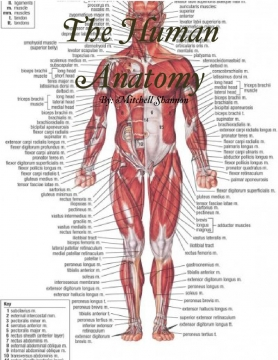 The Human Anatomy