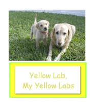 Yellow Lab, Yellow Lab