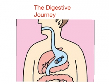 Journey into the digestive system