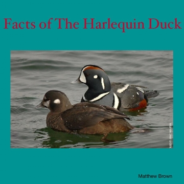 The Harlequin Duck