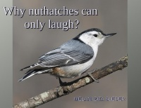 Why nuthatches can only laugh?