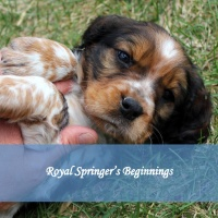 Royal Springer's Beginnings
