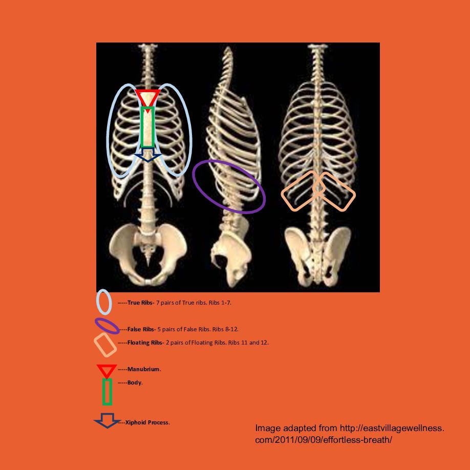 Ribs. Rib cage, and more | Cover Page | Book 378730 - Bookemon